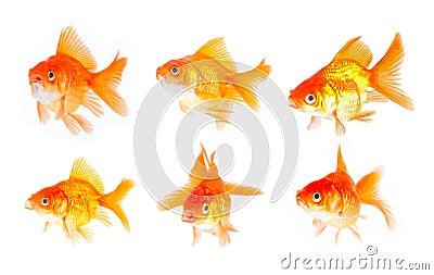 Gold fish set.