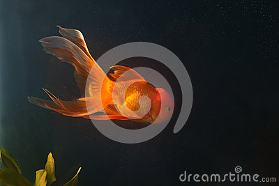 Gold Fish Swiming  In Aquarium Stock Photography - Image: 27821232