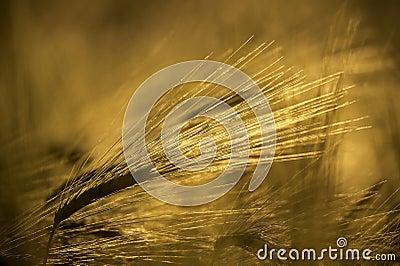 Gold grain ears