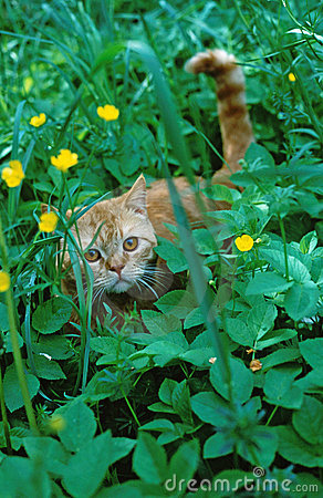 Gold kitten