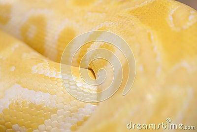 Gold python