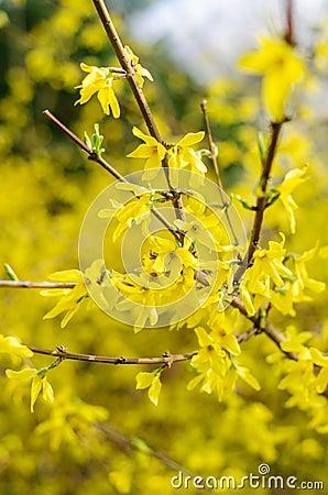 Gold rain bush