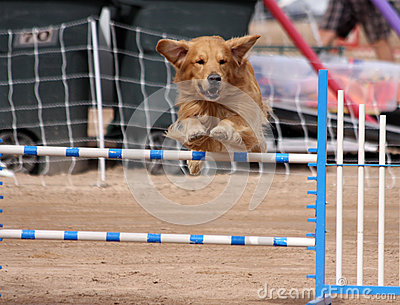 Gold Retriever flying over a jump