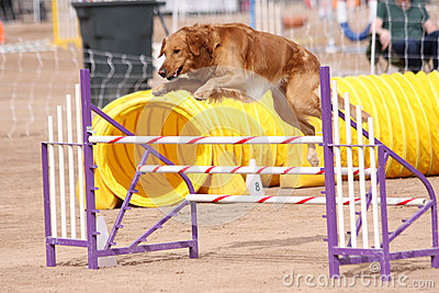 Gold Retriever jumping an obstacle