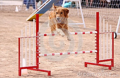 Gold Retriever obstacle course jump