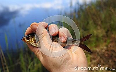 Gold rudd in angler hand