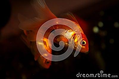 Gold small fish