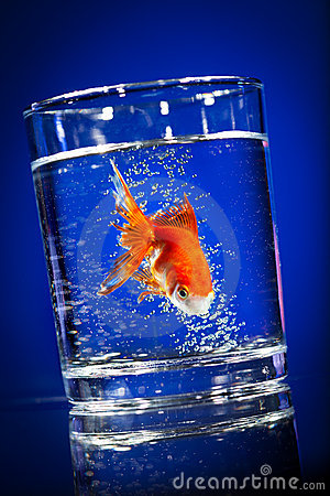 Gold small fish in a water glass