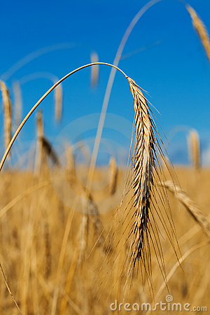 Gold wheat ear