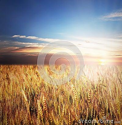 Free Gold Wheat Field Stock Photo - 29630980
