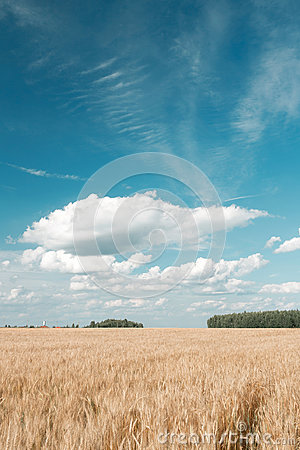 Free Gold Wheat Field And Blue Sky. Ripe Grain Harvest Time Stock Photography - 97456162