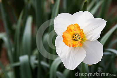 Gold and White Daffodil
