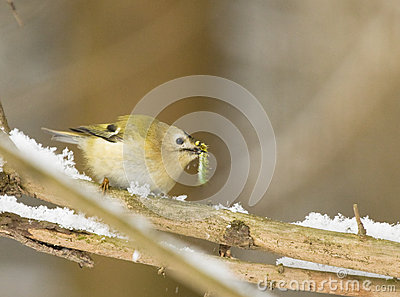 Goldcrest with caterpillar