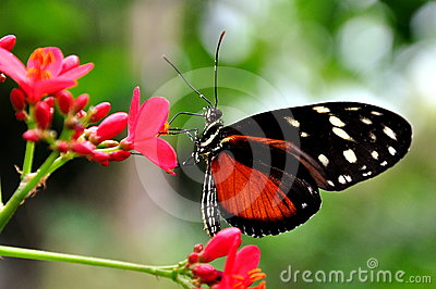 Golde Helicon Butterfly,Heliconius hecale