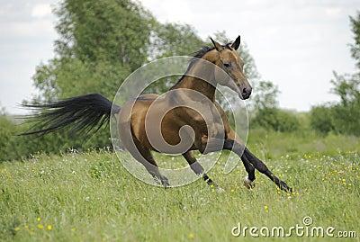 Golden akhal-teke horse