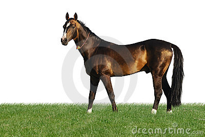 Golden akhal-teke horse isolated on white