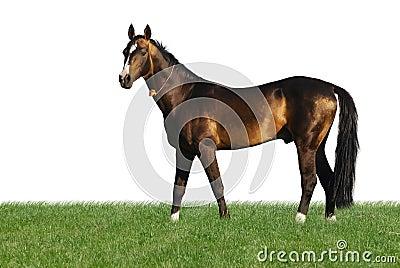 Golden akhal-teke horse isolated on white