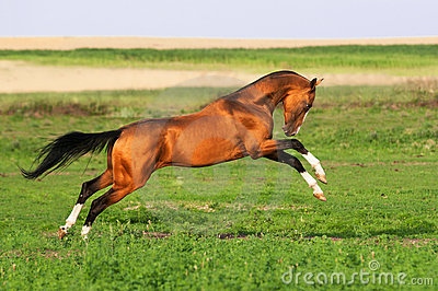 Golden akhal-teke horse runs gallop