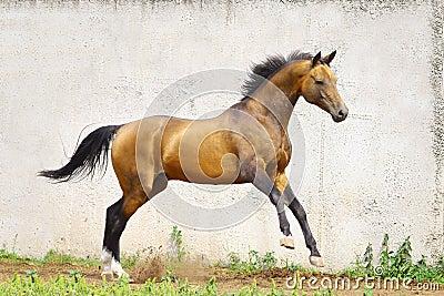 Golden akhal-teke stallion