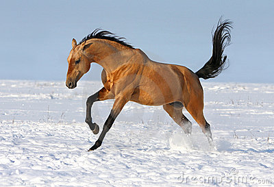 Golden akhalteke stallion running