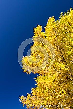 Golden ash