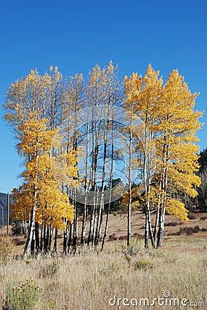 Golden Aspen Trees