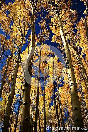 Free Golden Aspens Near Santa Fe Stock Photo - 25872460