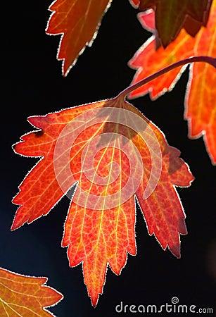 Golden backlit fall leaf