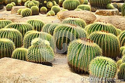 The Golden Barrel Cactus  field