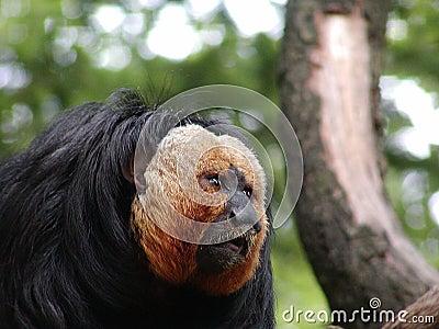 Golden beard monkey