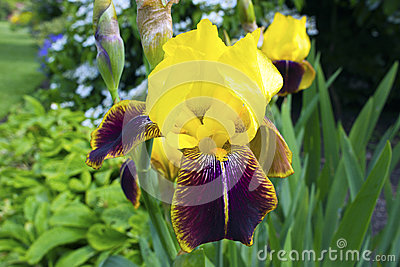 Golden bearded iris.