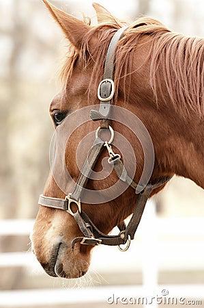 Golden brown horse