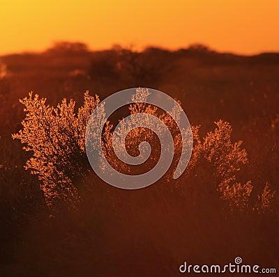 Golden Bush - Sunset, Africa !!!