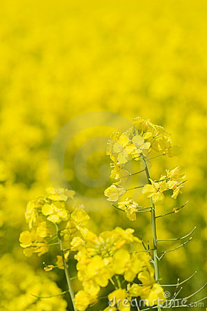 Free Golden Canola (rape) Royalty Free Stock Photography - 2366837