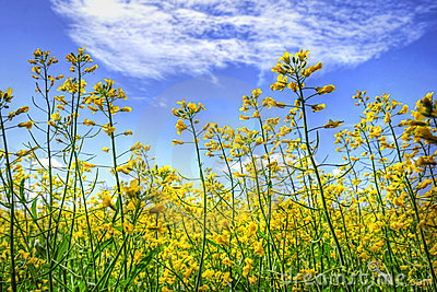 Golden canola and sky