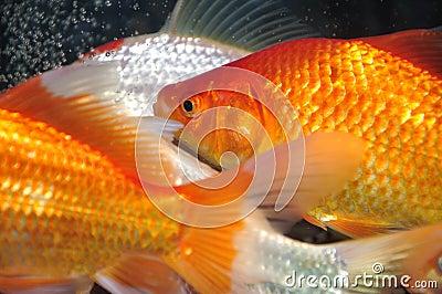 Golden carp fish