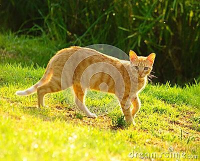 Golden cat2