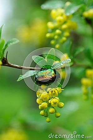 Free Golden Cetonia Bug Royalty Free Stock Photos - 7494338