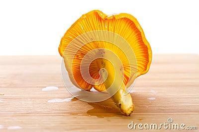 Golden chanterelle fungi close up