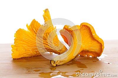 Golden chanterelle fungus macro