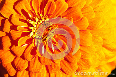 Golden chrysanthemum close-up