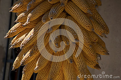 Golden colored dry ecological Corn harvest
