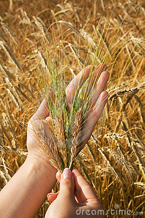 Free Golden Crops In Woman Hands Royalty Free Stock Photos - 2777938