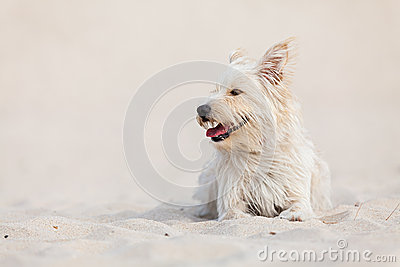 Golden dog at the beach