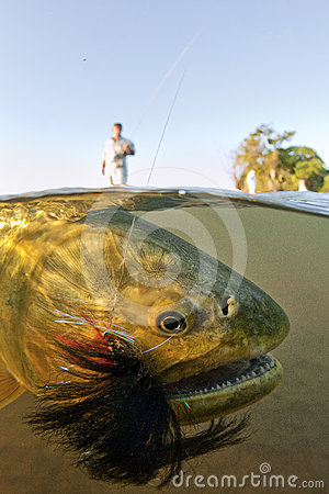 Free Golden Dorado On A Fly Rod Underwater Royalty Free Stock Images - 24481779