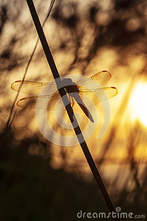 Free Golden Dragonfly Stock Images - 114105444