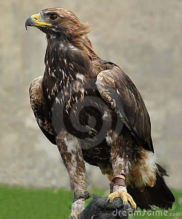 Free Golden Eagle Stock Images - 16143804