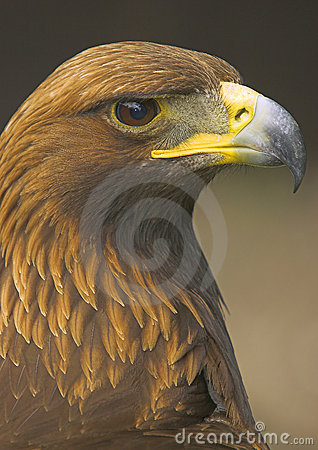 Free Golden Eagle Stock Photos - 2427153