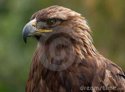 Golden Eagle Royalty Free Stock Images - Image: 7305309