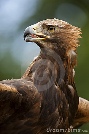 A Golden Eagle (Aquila chrysaetos)